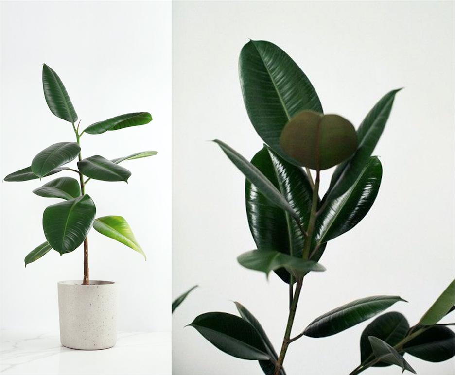 Ficus Elastica - Gummibaum