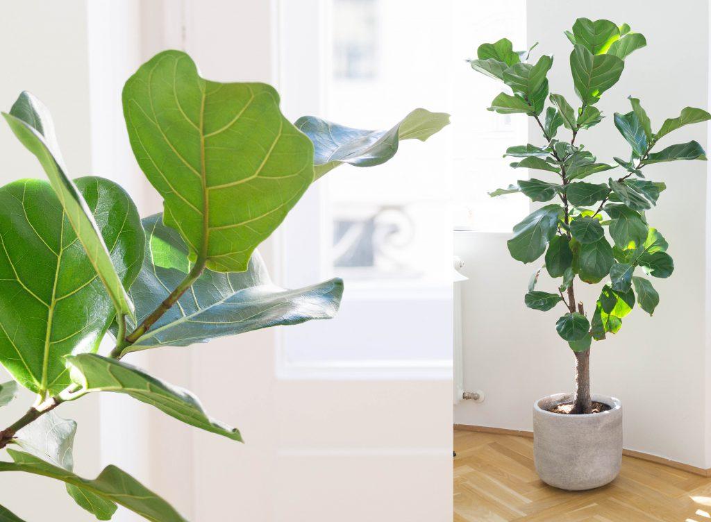 Fiddle Leaf - Geigenfeige - Ficus Lyrata