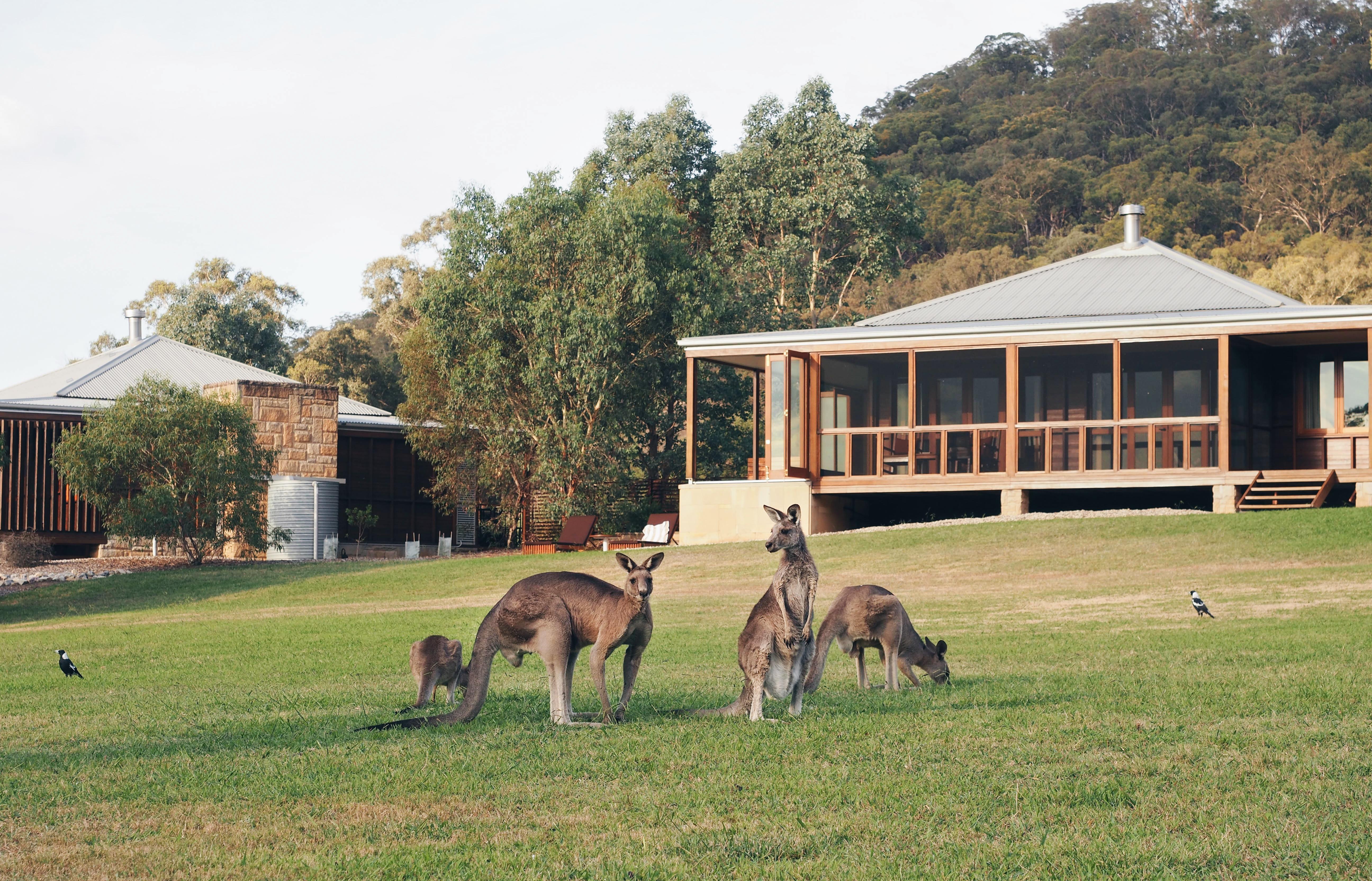 One&Only Wolgan Valley Kangaroos Kängurus