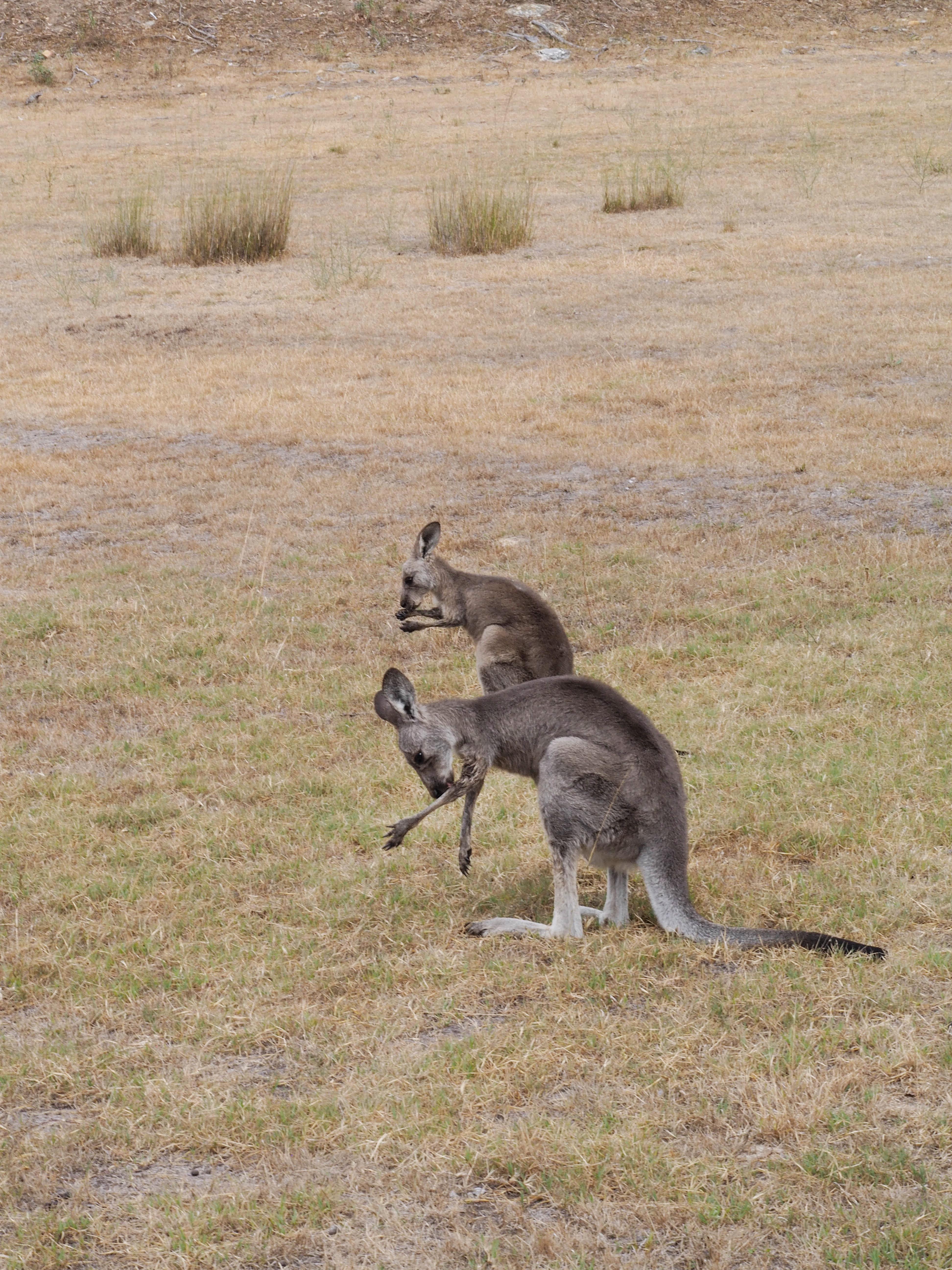 One&Only Wolgan Valley Kangaroos