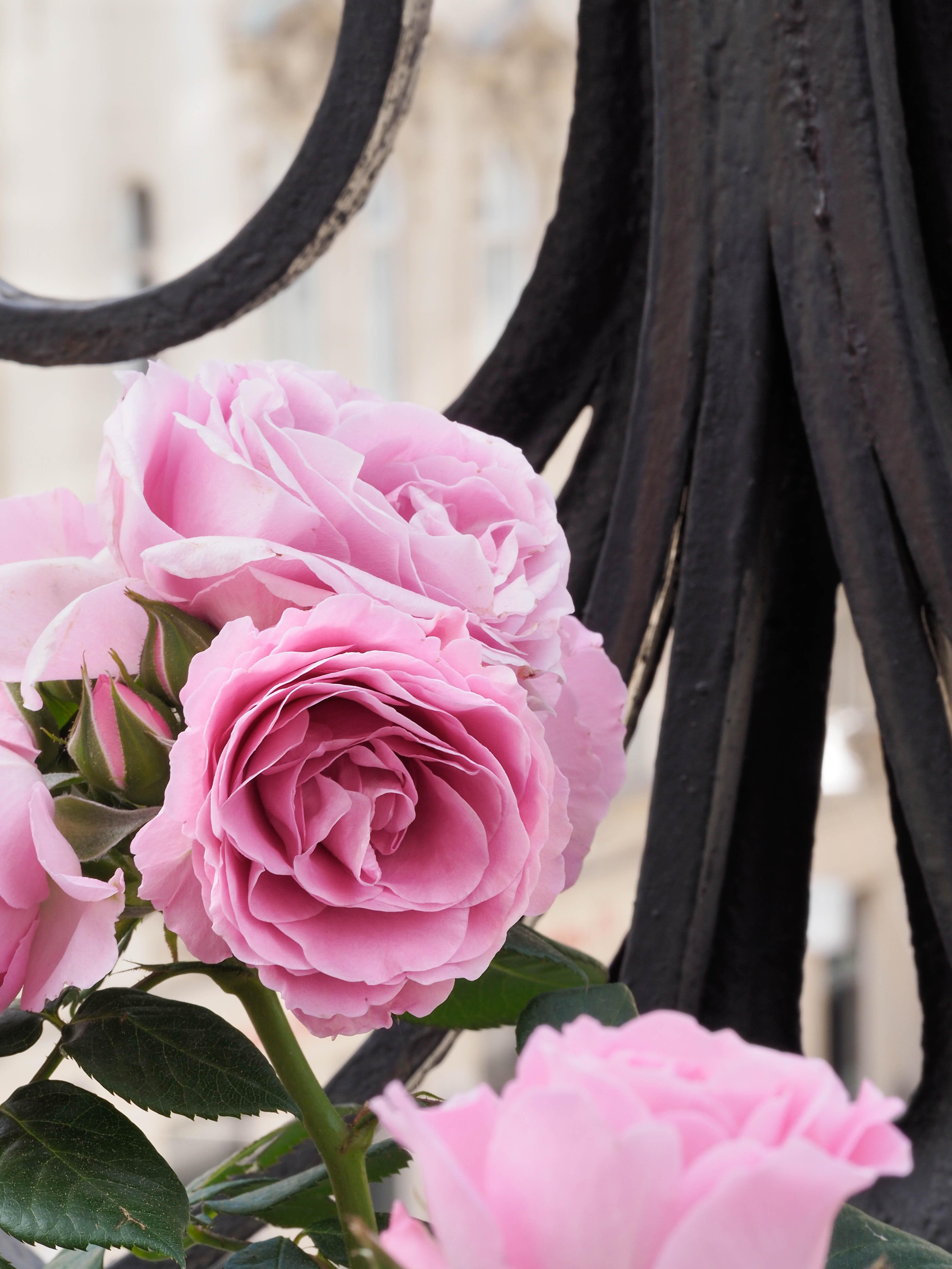 Englische Rosen Balkon